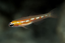 Image of Coryphopterus personatus (Masked goby)