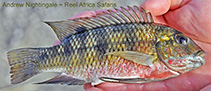 Image of Coptodon zillii (Redbelly tilapia)