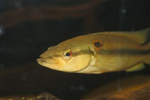 Image of Crenicichla alta (Millet)