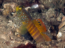 Image of Cryptocentrus pavoninoides (Peacock shrimpgoby)