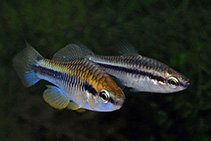 Image of Cubanichthys pengelleyi (Jamaican killifish)