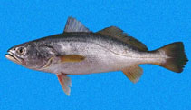 Image of Cynoscion albus (Whitefin weakfish)