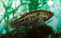 Image of Cyprinodon bovinus (Leon Springs pupfish)