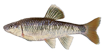 Image of Cyprinella callistia (Alabama shiner)