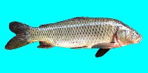 Image of Cyprinus carpio (Common carp)