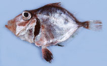Image of Cyttopsis cypho (Little dory)