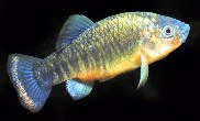 Image of Cyprinodon fontinalis (Carbonera pupfish)