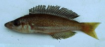 Image of Cyprichromis microlepidotus