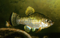 Image of Cyprinodon nazas (Nazas pupfish)