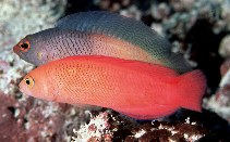 Image of Cypho purpurascens (Oblique-lined dottyback)