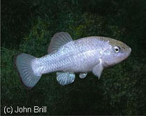 Image of Cyprinodon salinus (Salt Creek pupfish)