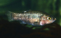 Image of Cyprinodon veronicae (Charco Palma pupfish)