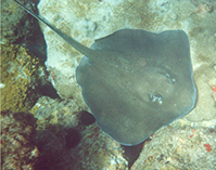 Image of Bathytoshia centroura (Roughtail stingray)