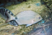 Image of Diplodus argenteus (South American silver porgy)