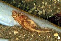 Image of Diplecogaster bimaculata (Two-spotted clingfish)