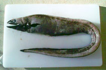 Image of Diastobranchus capensis (Basketwork eel)