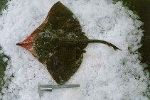 Image of Zearaja chilensis (Yellownose skate)
