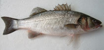 Image of Dicentrarchus labrax (European seabass)