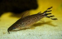 Image of Dianema urostriatum (Flagtail catfish)