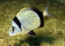 Image of Diplodus vulgaris (Common two-banded seabream)