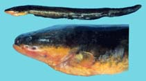 Image of Electrophorus electricus (Electric eel)