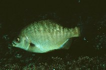 Image of Embiotoca jacksoni (Black perch)