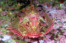 Image of Enophrys diceraus (Antlered sculpin)