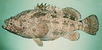 Image of Epinephelus fuscoguttatus (Brown-marbled grouper)