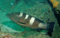 Image of Epinephelus gabriellae (Multispotted grouper)
