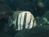 Image of Ephippus goreensis (East Atlantic African spadefish)