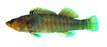 Image of Etheostoma acuticeps (Sharphead darter)