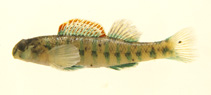 Image of Etheostoma baileyi (Emerald darter)
