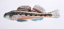Image of Etheostoma barrenense (Splendid darter)