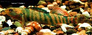 Image of Etheostoma caeruleum (Rainbow darter)