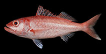 Image of Etelis carbunculus (Deep-water red snapper)