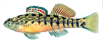 Image of Etheostoma coosae (Coosa darter)