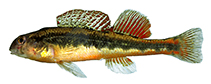 Image of Etheostoma duryi (Black darter)