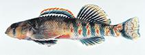 Image of Etheostoma kanawhae (Kanawha darter)