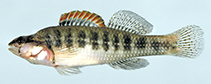 Image of Etheostoma mariae (Pinewoods darter)