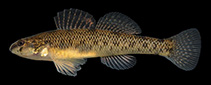 Image of Etheostoma nigrum (Johnny darter)