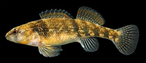 Image of Etheostoma spectabile (Orangethroat darter)