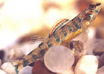 Image of Etheostoma stigmaeum (Speckled darter)