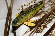 Image of Etheostoma striatulum (Striated darter)