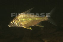 Image of Eugerres plumieri (Striped mojarra)
