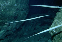 Image of Fistularia commersonii (Bluespotted cornetfish)