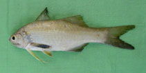 Image of Filimanus similis (Indian sevenfinger threadfin)