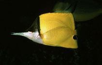 Image of Forcipiger flavissimus (Longnose butterfly fish)