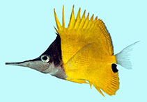 Image of Forcipiger longirostris (Longnose butterflyfish)