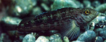 Image of Forsterygion varium (Striped triplefin)