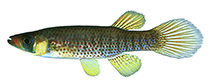 Image of Fundulus escambiae (Russetfin topminnow)